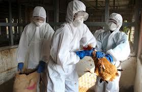 La OMS pide vigilar atentamente los focos de gripe aviar ante su rápida propagación