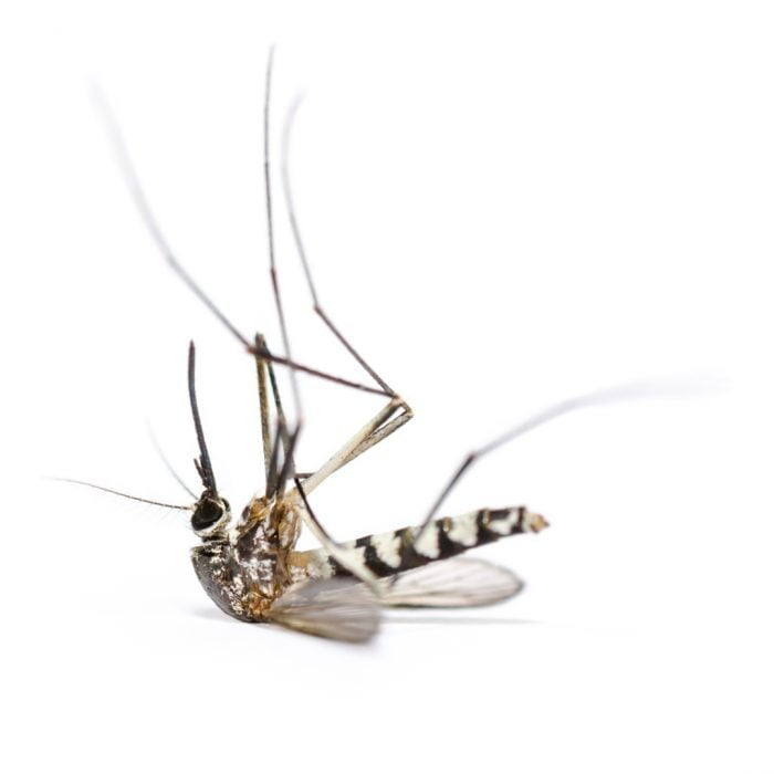 mayor presencia de mosquito tigre